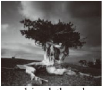LONGAEVA: Ancient Bristlecone Pine